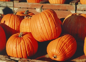 All About Pumpkins